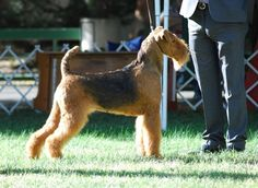 Keeping your Airedale Terrier healthy is important. Upkeep Needs, Right Nutrition, Weight Control, Excess Energy, Exercises...