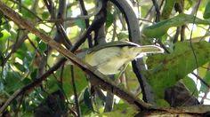 Foto pitiguari (Cyclarhis gujanensis) por Marcelo De Barros Pimentel