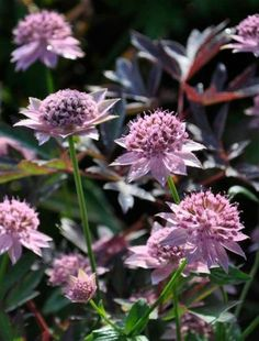 Astrantia maxima pinner says: plants for heavy clay
