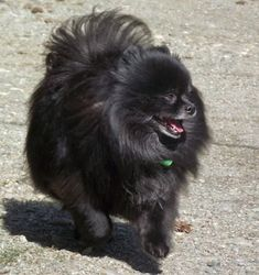 Marvelous Pomeranian Does Your Dog Measure Up and Does It Matter Characteristics. All About Pomeranian Does Your Dog Measure Up and Does It Matter Characteristics.