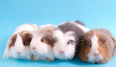 Top 12 Different Types Of Guinea Pig Breeds