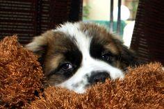 Cute Saint Bernard Puppy Photo