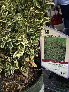 Buxus sempervirens Suffruticosa True Dwarf English Boxwood A
