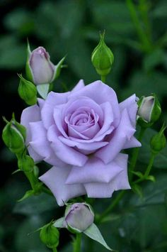 Ideas For Flowers Purple Lilac Bushes Beautiful Rose Flowers, Flowers Nature, Amazing Flowers, Beautiful Flowers, Beautiful Pictures, Purple Lilac, Purple Roses, Orchid Flowers, Flor Iphone Wallpaper