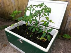 Worn out Coleman ice chest makes a great veggie planter.