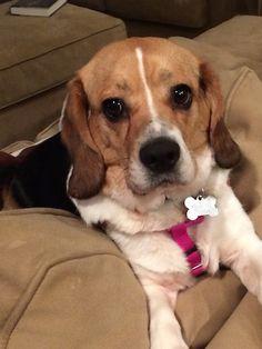 Fosters | Triangle Beagle Rescue
