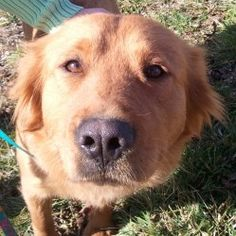 VERMONT ~ meet Melody an #adoptable #GoldenRetriever blend who is approx 3-4 yrs old. She is potty trained, spayed, rides well in a car and walks well on leash. Melody is looking for a forever home and is at Golden Huggs Rescue VT.
