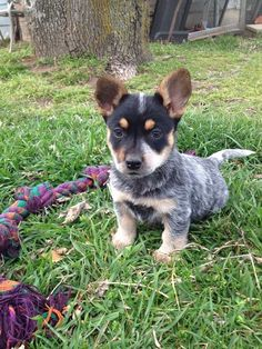 1/4 cowboy corgi , 3/4 heeler Australian Puppies, Australian Cattle Dog, Corgi Mix, Cute Corgi, Cowboy Corgi, Pembroke Welsh Corgi, Dog Training, Fur Babies, Dog Breeds