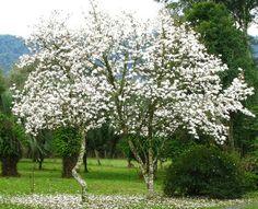 Magnólia branca- forma de tulipa, no inverno perde as folhas e floresce. Alcança 5m e ser podada para dar forma. Seu cultivo como planta isolada em gramados não é muito recomendada, pois passada a floração perde um pouco do efeito espetacular. Melhor utilizá-la em conjuntos de folhagens verdes com flores em diversas épocas, combinando a cor da flor da magnólia com outras de cores semelhantes, como as azaléas. Vi uma grande, do tamanho de uma árvore, sozinha num campo, s/ folhas. Era muito…