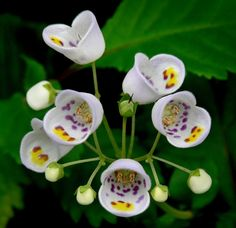 Jovellana punctuata - commonly known as the teacup flower. my-secret-garden