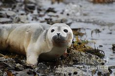 Seal Pup in Maine