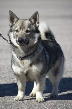 Swedish Vallhund Kaapo by on deviantART Spitz Breeds, Spitz Dogs, Rare Dogs, Rare Dog Breeds, Otter, Dog List, Medium Dogs, Mans Best Friend, I Love Dogs
