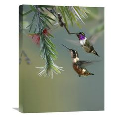 Global Gallery White-Bellied Woodstar Hummingbird Male and Female Feeding on Flower Costa Rica Wall Art - GCS-396988-1216-142