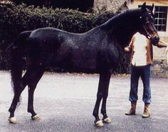 THE SHAH (Fabah x Bint Fada, by Fa-Serr) 1966 bay stallion bred by Henry Babson; sired no registered purebreds in the USA; exported to Britain.