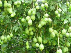 A caatinga enriquecida com umbuzeiro dá mais renda ao agricultor e evita a extinção do umbu .