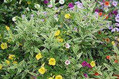 Proven Winners Creme Fraiche™  Deutzia gracilis