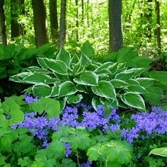 Hostas and shade plants under trees