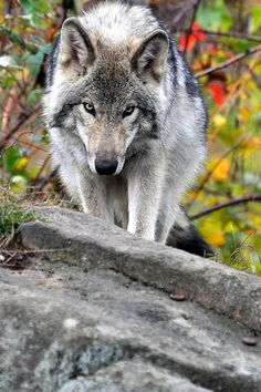 Gray wolves are such beautiful creatures and are so misunderstood. So many people hate them and would kill them if they could. They are actually afraid of people and just want to be left alone. They are presently endangered species and their future is unknown.
