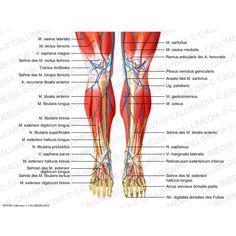 Fuß - Medialansicht - Muskeln, Blutgefäße und oberflächliche Nerven ...