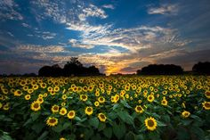 This is a photo from the sunflower field near Lawrence, Kansas. There wasn't much color to this sunset, but the small amount of color, along with the clouds, made for a neat photo!