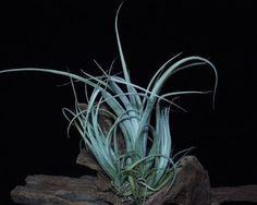 Tillandsia Balsasensis - Blog Multiflora
