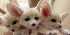 cute baby fennec foxes