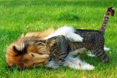 Rough Collie and cat best friend by Helena Jørgensen on 500px