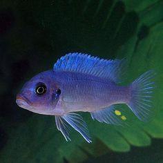 Cobalt Blue Cichlid   Metriaclima zebra for Sale Online   PetSolutions