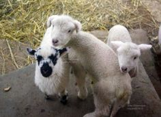 Home - Sweet Pea & Friends Lambs, Sheep, Sweet Home, Friends, Animals, Amigos, Animales, House Beautiful, Animaux