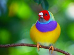 image source The Gouldian finch (Erythrura gouldiae), also known as the Lady Gouldian finch, Gould's finch or the rainbow finch, is a colourful passerine bird endemic to Australia. There is strong evidence of a...
