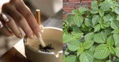 Para quem fuma ou fumou: esta planta pode limpar pulmões e fazer perder a vontade de fumar