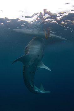 Things to do in Oslob, Cebu Island, harmless whale shark. Shark Week, Orcas, Wind Surf, Shark Bait, Underwater Life, Deep Blue Sea, Great White Shark, Ocean Creatures, Mundo Animal