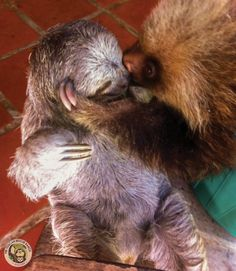 In celebration of World Peace Day this week we imagine Mocha, Bella and Albert Einstein specific this particular occasion completely. Cute Baby Sloths, Cute Sloth, Cute Baby Animals, Funny Animals, Baby Otters, Wild Animals, Animal Antics, My Spirit Animal, Fauna