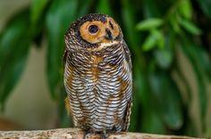 https://flic.kr/p/R25Ef7   Spotted Wood owl   Burung Hantu Berbintik