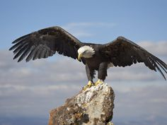 http://imgc.allpostersimages.com/images/P-473-488-90/26/2616/3TBMD00Z/posters/james-hager-bald-eagle-haliaeetus-leucocephalus-perched-with-spread-wings-boulder-county-colorado.jpg