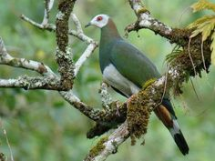White-Bellied Imperial Pigeon - Ducula forsteni - This bird which is endemic to Sulawesi in Indonesia, is a member of the family Columbidae - Subtropical or tropical moist lowland forests and subtropical or tropical moist montane forests are its natural habitats