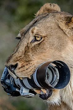 Lioness Snatch A Photographer's Camera To Play With Funny Wild Animals, Wild Animals Videos, Animals And Pets, Baby Animals, Cute Animals, Artic Animals, Mundo Animal, My Animal, Beautiful Cats