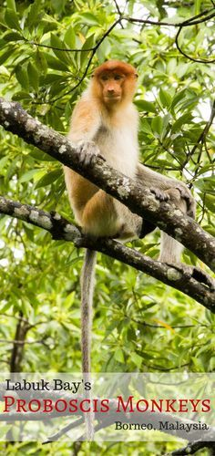 Borneo is home to so many animals; the jungle is amazing.  We visited the proboscis monkeys and boy did they put on a show for us.  Testosterone at its wildest!  Click here to read all about this amazing encounter and see more stunning photos. ~ReflectionsEnroute
