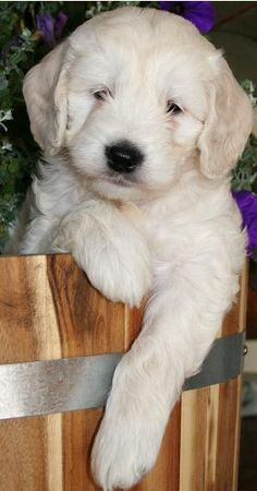 goldendoodle pup.....my Yankee looked just like this one!  Best dog in the world!!!