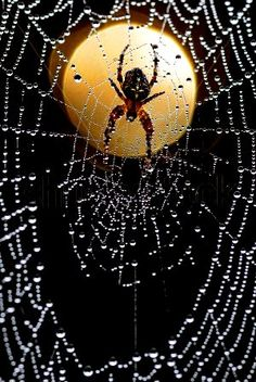 Moonlight and dew drops Spider Art, Spider Webs, Foto Macro, Itsy Bitsy Spider, Dew Drops, Primates, Natural World, Amazing Nature, Nature Photography