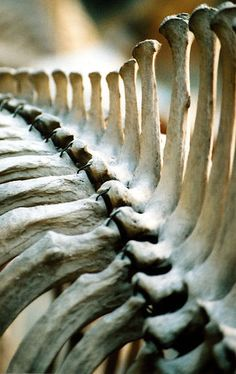 Lets take a look at the spine of an Asiatic Rhino . ( bones by Kevin Walsh )