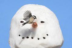 Chickadee Landing On A Snowman