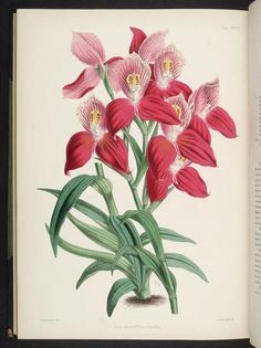 Disa grandiflora superba. Select orchidaceous plants [First series]  London :L. Reeve,1862-1865.  Biodiversitylibrary. Biodivlibrary. BHL. Biodiversity Heritage Library