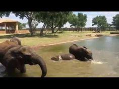 Elephants First Swim
