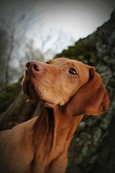 DebLee on imgfave Vizsla Puppies, Dogs And Puppies, Doggies, Vizsla Dog, Animals And Pets, Cute Animals, Dog Day Afternoon, Hungarian Vizsla, Hunting Dogs