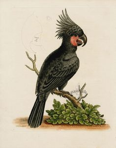 18th Century Engravings of Parrots & Cockatoos George Edwards
