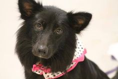 NAME: Alair  ANIMAL ID: 28688668 BREED: border collie mix SEX: female EST. AGE:2yr Est Weight: 27 lbs Health: heartworm neg Temperament: dog friendly, people friendly ADDITIONAL INFO: RESCUE PULL FEE:$49 Intake date: 7/24 Available:now