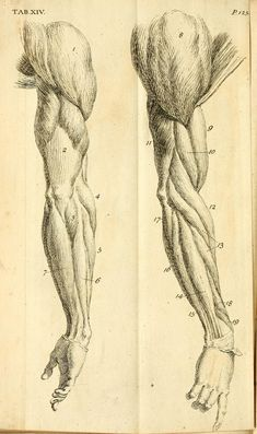Exceptional Drawing The Human Figure Ideas. Staggering Drawing The Human Figure Ideas. Arm Anatomy, Human Anatomy Drawing, Human Figure Drawing, Figure Drawing Reference, Body Drawing, Art Reference Poses, Anatomy Reference, Muscle Anatomy, Body Anatomy