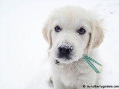 Winston!!! www.nicholberrygoldens.com English Golden Retrievers, Dogs, Animals, Animales, Animaux, Doggies, Golden Retrievers, Animais, Dog
