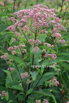 Eupatorium flowers are available for July Scottish weddings. Contact The Stockbridge Flower Company, Edinburgh for more details. Horticulture, Plants, Flower Company, Flowers, Wild Flowers, Annual Plants, Pink Garden, Perennials, Garden